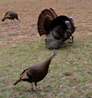 Eastern-strain Wild Turkeys