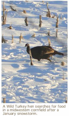 A Wild Turkey hen searches for food  in a midwestern cornfield after a  January snowstorm.